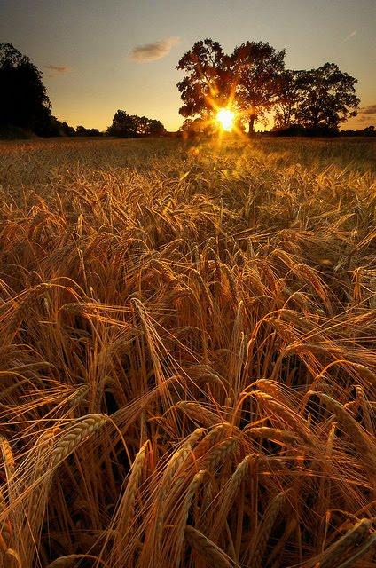 Barley Field Sunset, Lymm, England